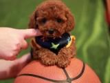 鄭州出售 純種泰迪幼犬 狗狗出售 可簽協議健康保障