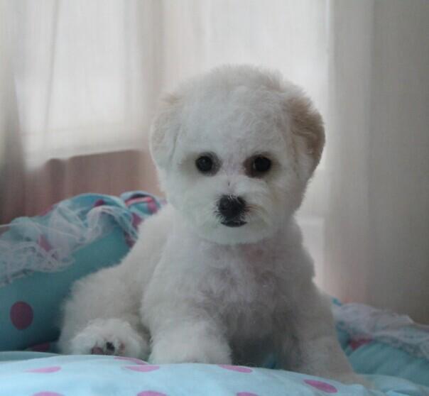 上海哪里有卖比熊幼犬 上海比熊幼犬价格多少钱 比熊幼犬图片