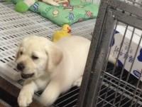 出售纯种幼犬拉布拉多 可上门亲自挑选,,多只可选择