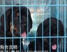 小榄哪里有卖狗 专业繁殖纯种德系罗威纳幼犬 可送货上门