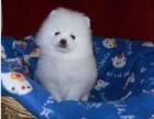 北京犬舍出售热卖纯种博美幼犬全国发货包健康