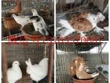 常年对外供应观赏鸽 肉鸽 和平鸽 品种好 价格低