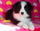 十字脸桃脸巨型熊版阿拉斯加幼犬哈士奇活体宠物狗狗