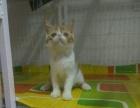 加菲猫小母 2500 猫咪价格以标题价格为准