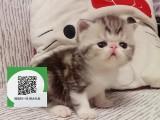 大连哪里有卖加菲猫 大连出售加菲猫 大连加菲猫买卖