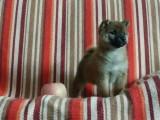 银川日系柴犬多少钱 银川赤色柴犬的价格是多少