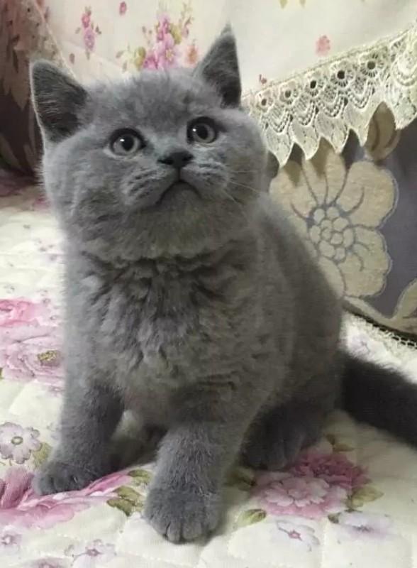 CFA注册猫舍 带繁育权 多窝纯种小蓝猫可选