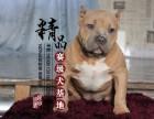 河南郑州哪里卖比特犬幼犬