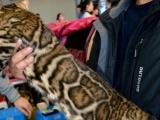 大玫瑰花孟加拉豹猫常年出售幼猫