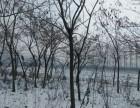 楸树,周口楸树,楸树苗,河南楸树