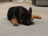 狗市可以买到纯种德国牧羊犬吗 多少钱一只