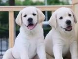 专业繁殖精品拉布拉多犬 疫苗齐全 保纯保健康 签协议