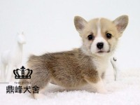 上海本地繁殖双色三色柯基犬丨电臂短腿女士最爱萌宝