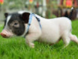 黑猪肉多少钱一斤 巴马香猪养殖基地