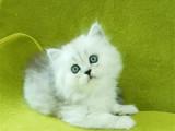上海黄浦猫舍直销纯种金吉拉一手出售