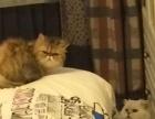 朋友因外调忍痛转让自养的两只猫宝