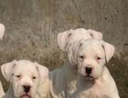 荆州格力犬猎兔犬幼犬的训练灵缇犬