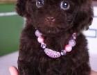 北京通保名犬常年出售宠物狗纯种泰迪犬保健康签协议可送货上门