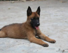 马犬幼犬纯血统狗 马犬图片