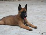 马犬幼崽多少钱一条 马犬价格