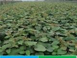 猕猴桃苗价格 品种纯正40公分高 绿肉徐香猕猴桃苗