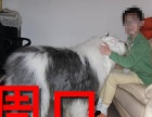 周口本地狗场古代牧羊犬销售,本地狗场几十个品种
