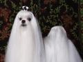 烟台卡塔儿宠物美容学校缔造宠物美容师的摇篮