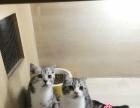 两枚可爱的虎斑加白小帅哥--《思晴名猫坊》