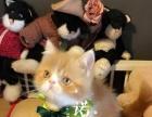 加菲猫 找新家,没有任何皮肤病,喜欢就来吧