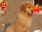 大头枫叶红金毛 大骨架 免费送狗上门—签质保协议