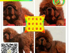 狮系藏獒出售 纯种藏獒 纯种**幼獒名獒血系出售