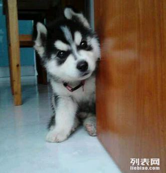 杭州哪里有哈士奇犬卖 杭州哪里出售纯种哈士奇多少钱
