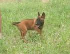 天津出售精品马犬,血统马犬幼犬,马犬图片,马犬多少钱一只