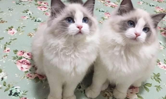 上海嘉定精品布偶猫,上海嘉定哪里有布偶猫,布偶猫价格