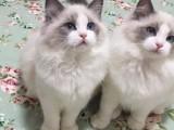 上海CFA注册猫舍新生布偶猫出售,上海哪家布偶猫最好,