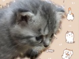 出售自家未满月美短小猫