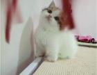 自家布偶猫多只幼猫待售 可上门看