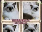 南京自家猫舍出售纯种布偶猫 活体幼猫 包纯 包健康
