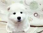出售熊板萨摩耶幼犬
