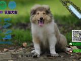 纯种苏格兰牧养犬/苏牧幼犬宠物狗上门可优惠送用品