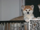 哪里有卖秋田犬 秋田的价格多少钱