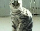 虎斑标斑一岁半公猫