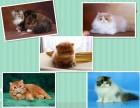 纯种加菲猫基地 上海爱宠网权威机构 公母都有