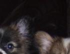 出售活泼机灵蝴蝶犬幼犬 质保协议疫苗驱虫齐全可送