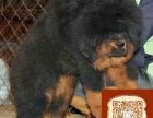 藏獒成年多大 纯种的藏獒多少钱 哪里有出售藏獒