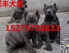 上海卡斯罗犬价格,出售纯种卡斯罗幼犬