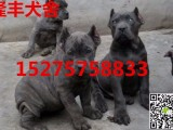 湛江卡斯罗犬多少钱一只,出售纯种卡斯罗犬