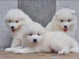 海口出售 萨摩耶幼犬 保证纯种健康 签订活体协议