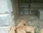 2个月大的可卡犬