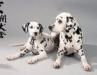 绵阳哪里有卖纯种斑点幼犬